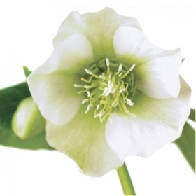 Floral Greeting Card   White Hellebore