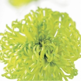 Floral Greeting Card   Chrysanthemum